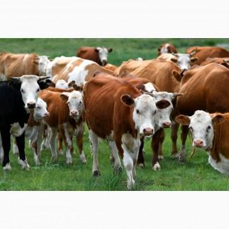 Заготовка Врх, телят, телиць бычков
