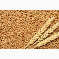 Закупляємо пшеницю (2-6 класів)