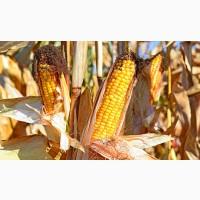 Насіння гібриду кукурудзи ВНІС ГРАН 6 (фао 300) 2020 року урожаю