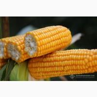 Насіння кукурудзи Пивиха, Оржиця 237, Страйд, Хортиця, Фіеста, Хотин, Варта, Дніпро