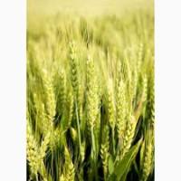 Продам насіння озимої пшениці - Мудрість одеська
