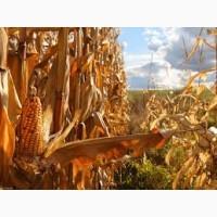 Закупка кукурузы ( фуражной ) Вся Украина