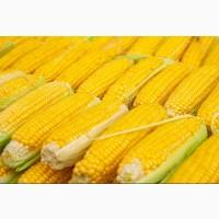 Кукуруза куплю любые объемы. Самовывоз