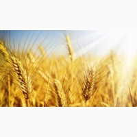 Пшениця Нива Одеська 1 Репродукция и Элита
