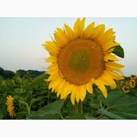 Семена подсолнечника Лимит под евролайтинг, 110-115 дней