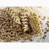 Купуємо пшеницю CPT порт. Продовольча, фураж