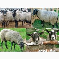 Вівці, Барани, Ягнята Опт і Роздріб Доставка є