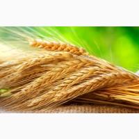 Куплю зерновые оптом. Закупка зерновых