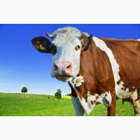 Куплю ВРХ Коров Бичков лошадей