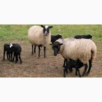 Ягнята, Овцы, Бараны 400+ Опт и Розница Доставим