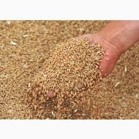 Закуповуємо вологу кукурудзу, фуражну пшеницю, сою, соняшник