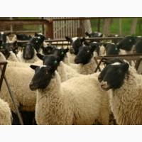 Овцы, Бараны, Ягнята Опт и Розница Доставка есть