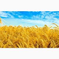 Продам насіння озимої пшениці Житниця одеська