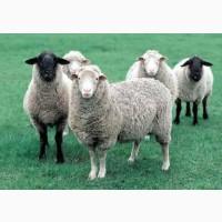 Бараны, Овцы, Ягнята, Опт и Розница