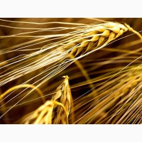 Куплю зернові кукурудза, ячмінь, жито, овес, пшениця Суми