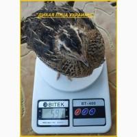 Яйца инкубационные перепела Фараон (селекция Espana)