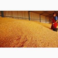 Кукуруза продовольственная на экспорт