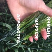 Семена озимого ячменя ЭС