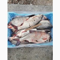 Свіжа риба оптом Україна