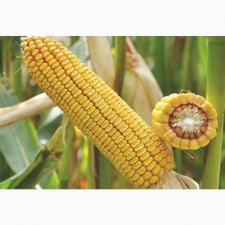 Семена кукурузы Латизана ФАО 320
