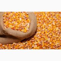 Куплю зерно кукурузы. Закупка кукурузы