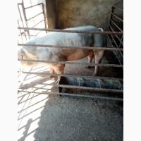 Продам хряка и две свиноматки