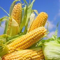 Семена кукурузы LG 3255