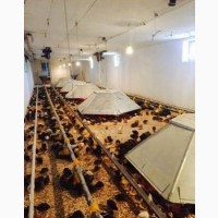 Яйца перепелиные инкубационные