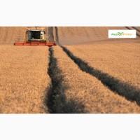 Озимая пшеница Шпаловка, семена (Элита ) урожай 2021 г