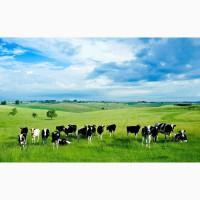 Выкупим все фермерское хозяйство КРС или ДРХ