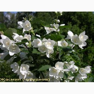 Жасмин (чубушник) – ароматный декоративный кустарник