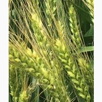 Семена озимой пшеницы донской селекции ЭС/РС1/РС2