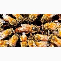 Бджоломатки Карпатської породи 2019 року (тип - Вучківський, Говерла)