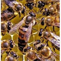 Матки Карпатка 2019 Пчеломатки Пчелинные Матки Бджоломатки