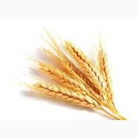 Предприятие постоянно закупает пшеницу