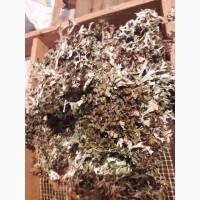 Куплю ісланський мох