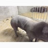 Кнури зі свинокомплексу. Доставка