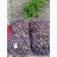 Раннеспелый картофель Гала 2Р. Оптовая продажа