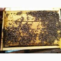 Пчелинные плодные матки 2019 года Карпатка Ф1 доставка по Украине
