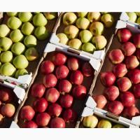 Выращиваем и продаем яблоки лучших сортов