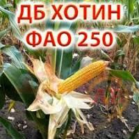 Насіння кукурудза ДБ Хотин