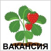 ВАКАНСІЯ ||| Робота сортувальник Саджанців Полуниці в ПОЛЬЩІ