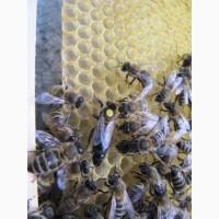 Бджоломатка Карпатська 2019 року Плідна