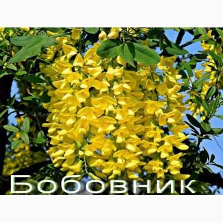 Саженцы бобвника золотой дождь