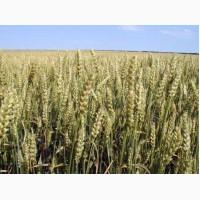 Пшениця Антоновка 1 Репродукция