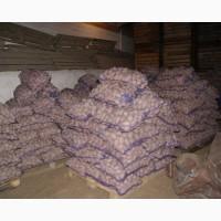 Качественный картофель белороса ревьера от производителя