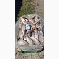 Продам свежемороженую рыбу - тарань, судак. Опт