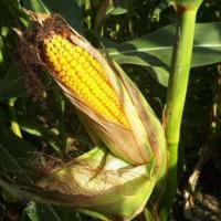Семена кукурузы Солонянский 298 СВ, ФАО 290