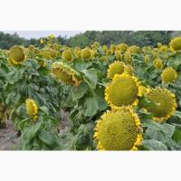 Семена подсолнечника Аркадия под Гранстар