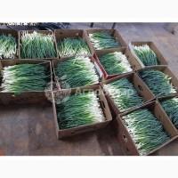 Продам лук зеленый перо, высшего сорта